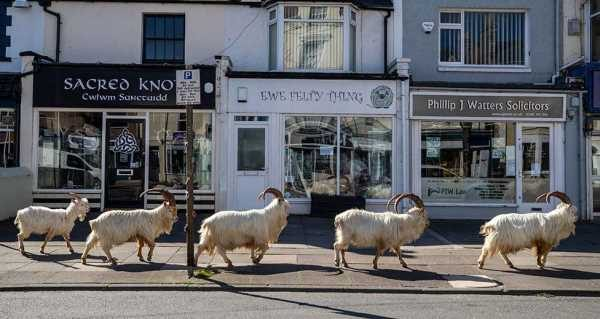 """Some animals took advantage of the quieter streets: goats took a stroll around the deserted streets of Llandudno, north Wales, on 31 March. Town councillor Carol Marubbi said: """"They are curious... and I think they are wondering what's going on, like everybody else."""" PETER BYRNE / PA MEDIA"""